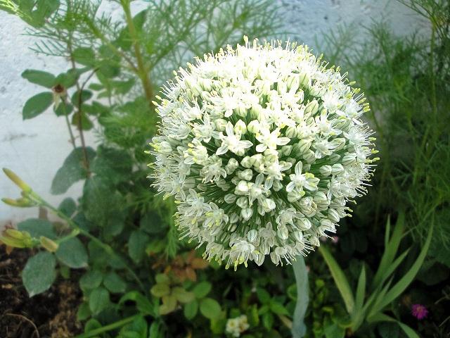 1280px-Allium_cepa,_Amol