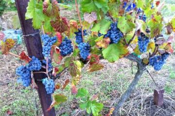 Viñas Gomariz